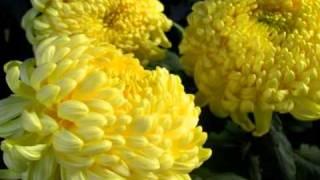 Хризантема(мифы и легенды о происхождении названий цветов, уход и выращивание а так же многое другое вы найдете на..., 2011-04-17T14:08:27.000Z)