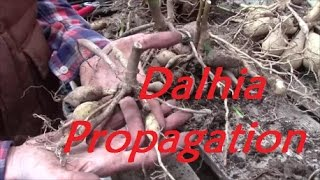 Digging, Dividing and storing Dahlia Tubers