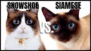 Snowshoe Cat VS. Siamese Cat