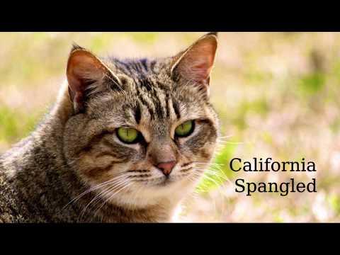 California Spangled - strong, long body
