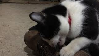 Kitten Plays with Laces (1/11/2019)