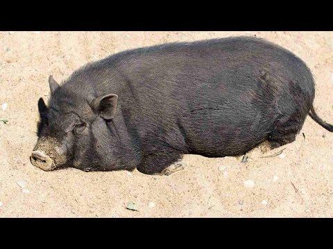 How Big Do Potbellied Pigs Get? | Pet Pigs