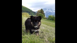 Lappi, the Finnish Lapphund puppy