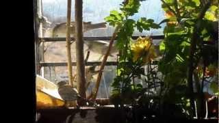 Sparrows at my window - Gauraiya Mere Ghar - World Sparrow Day!