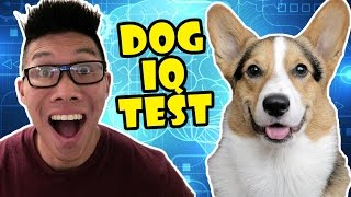 best-corgi-iq-test-dog-personality-intelligence-life-after-college-ep-515