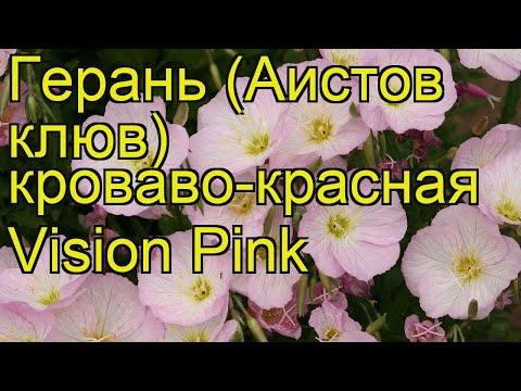 Герань кроваво-красная Vision Pink. Краткий обзор, описание характеристик, где купить саженцы