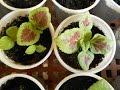 نبات السجاد زراعة بالبذور