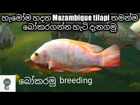 Mozambique tilapia care in sinhala
