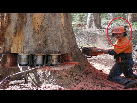 Amazing Fastest Skill Huge Tree Felling With Chainsaw, Dangerous Stihl Chainsaw Cutting Tree Down
