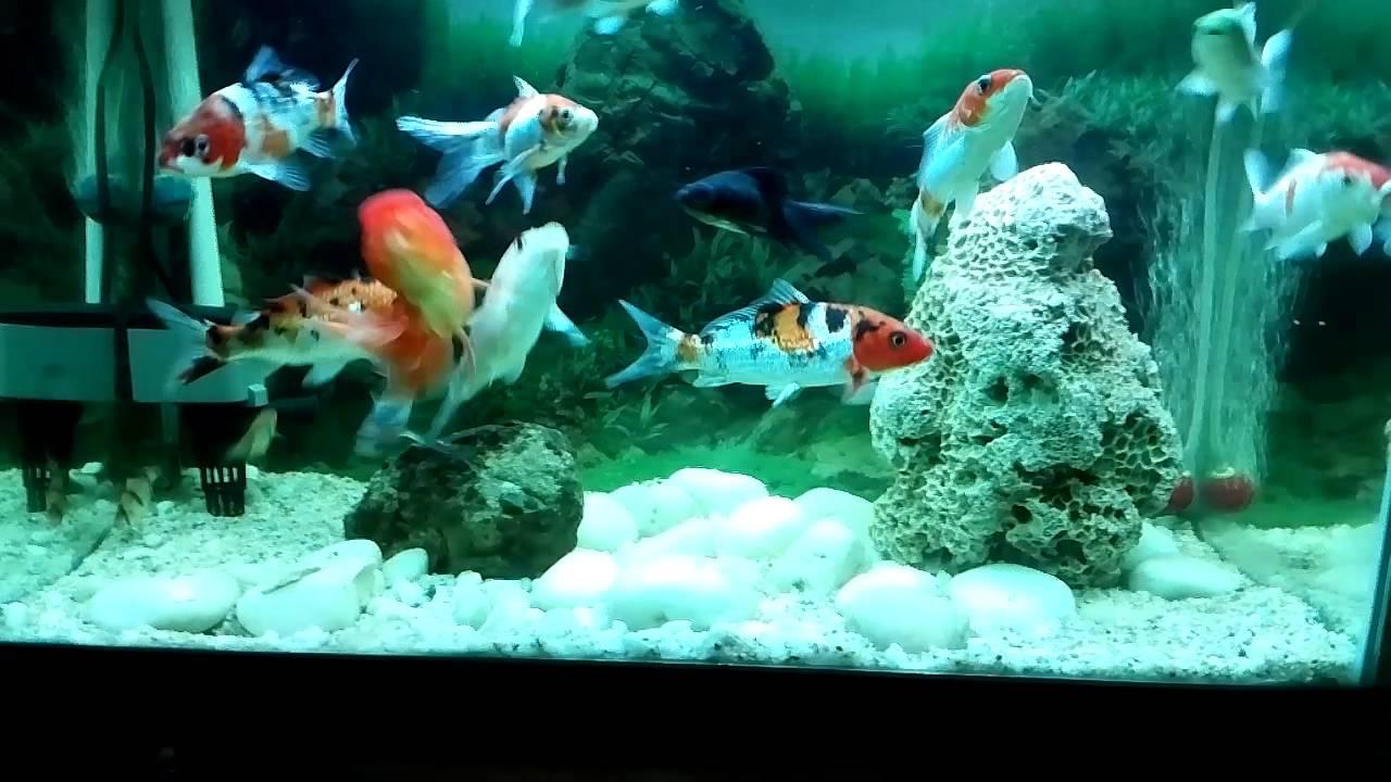 Koi aquarium mini youtube for Koi aquarium
