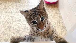 BOBCAT LUNA CREPT TO THE SECOND FLOOR / Lynx Martin showed friendliness / Gifts for big cats