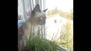 Мой Сиамский котёнок