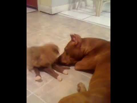 Cute pitbull & Pomeranian Puppies For sale🐕all colors of Pomeranian  Puppies 🐕are now ready to meet