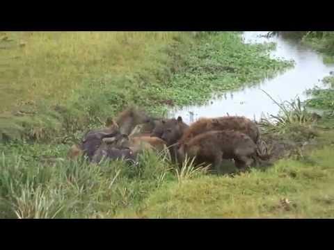 Wildebeest kill in Ngorongoro Crater