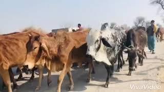 desi bull beauty of Pakistan / bull family / cow and bull