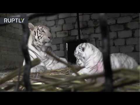 Una rara tigresa blanca amamanta a su cría en Rusia