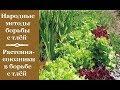 ❀ Народные методы борьбы с тлёй: Растения-союзники в борьбе с тлей