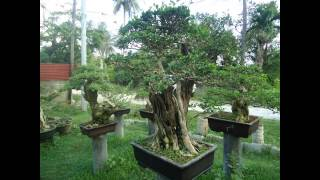 "Bonsai Evolution: Large Premna Microphylla fondly called ""Attorney"""