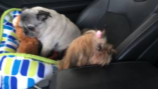 Pug And Shih Tzu Scared Of The Car Wash
