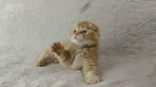 Шотландские котята из домашнего питомника. Котенок Армани. Красный тикированный