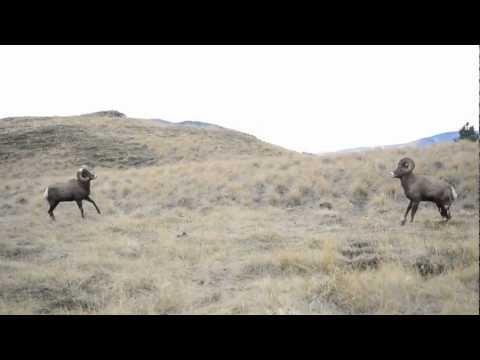 Bighorn Rams Head Butting