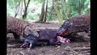 Драконы Комодо поедают живьём дикого кабана
