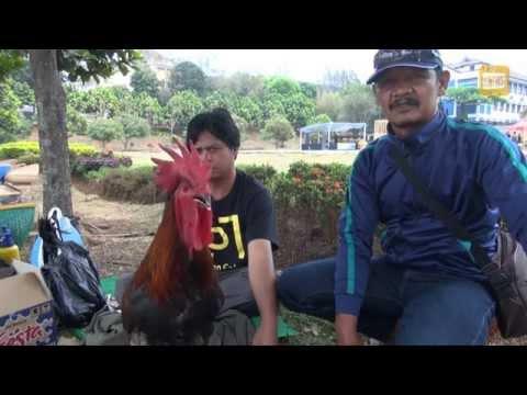 Kontes Ayam Pelung Piala Rektor Unpad