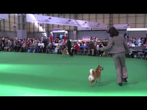 dfs Crufts 2011 - Best of Breed Japanese Shiba Inu