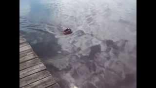 Cocker Spaniel Dock Diving Bird Dog