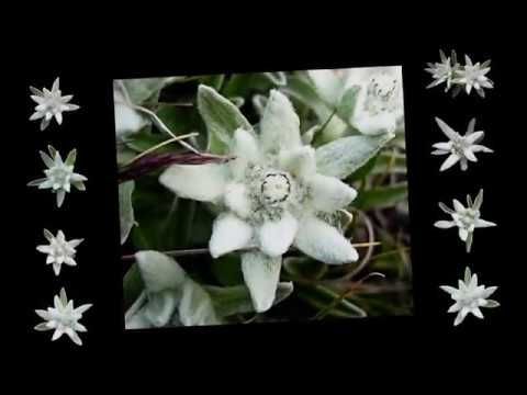 Richard rodgers edelweiss piano solo youtube richard rodgers edelweiss piano solo m4hsunfo