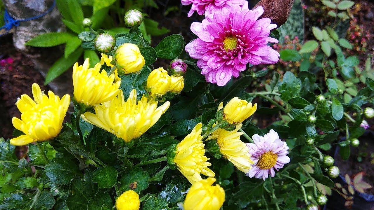 5 Cara Budidaya Bunga Aster Agar Cepat Berbunga Dan Tumbuh Lebat