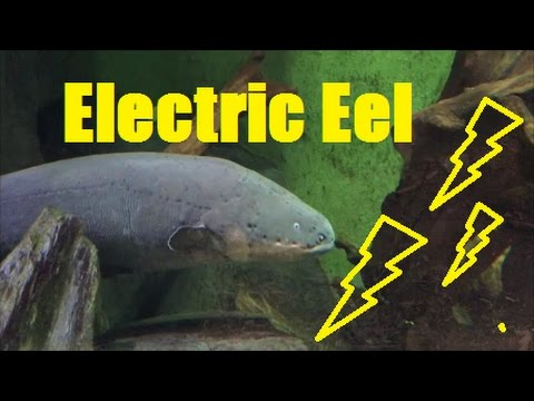 Electric Eel Zitteraal Electrophorus Electricus Youtube