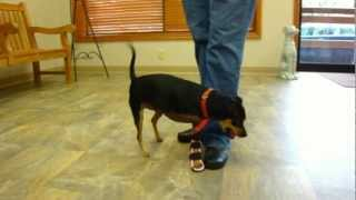 Kiki, A Mini Doberman With Carpal Paw Brace