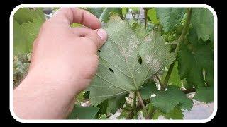 Милдью на винограде: лечение и меры профилактики