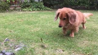 犬 #dog #カマキリ #対決.