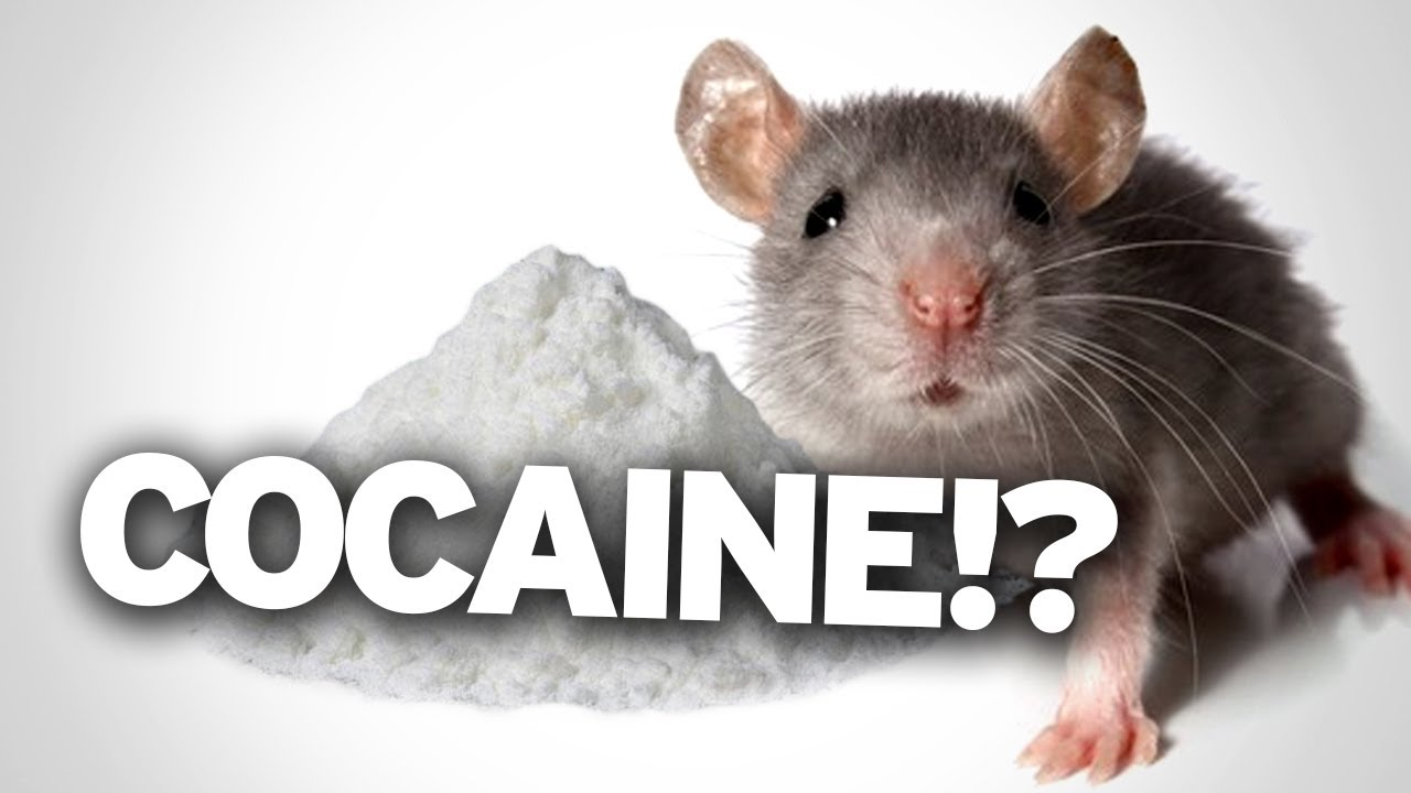 Uncategorized Mice Jokes cocaine re wires your brain after one use youtube
