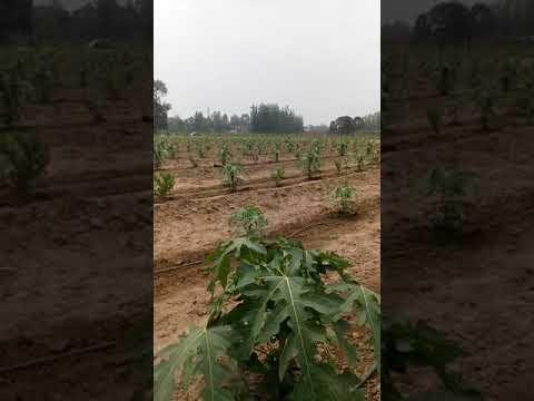 Papaya Plant after 45 days