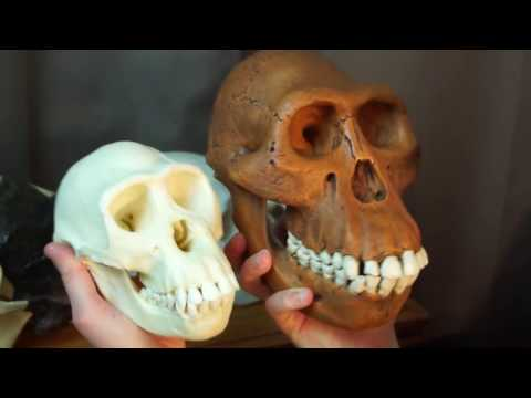 Lucy the Australopithecus Afarensis - IAC Training Video