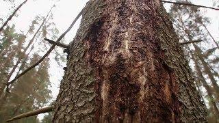 Puszcza Białowieska - racja leśniczych, czy ekologów?