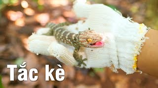 Đi bắt tắc kè bằng cần câu cá & con tắc kè hung dữ (catch gecko with fishing pole & angry gecko)