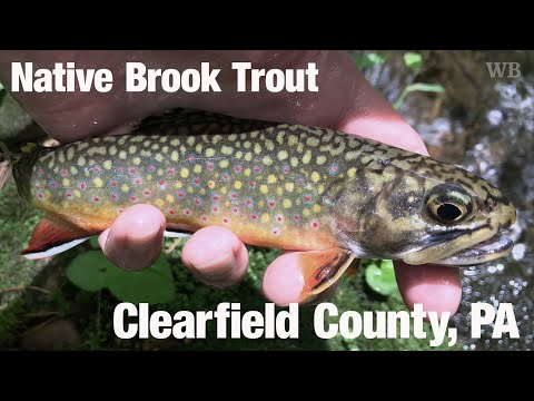 WB - Fly Fishing Native Brook Trout, Stone Run, PA (w/Project Healing Water Trailer) - June '18
