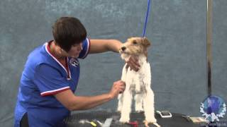 Hand-stripping The Rolled Coat On A Wire Fox Terrier Part 1