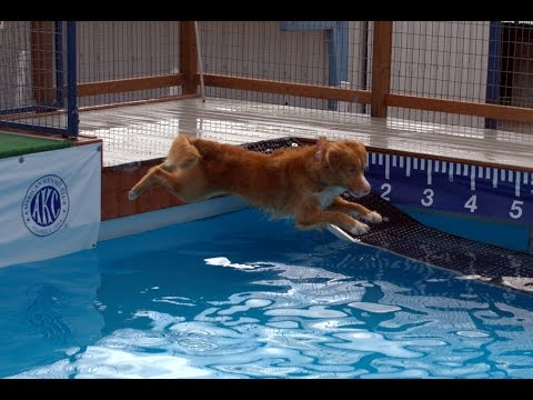 Nova Scotia Duck Tolling Retriever Dock Diving!