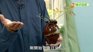種子盆栽DIY教學 - 龍眼栽種掛瓶