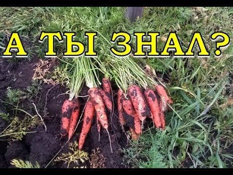 Как собрать урожай моркови