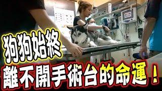 【擔憂】狗狗始終離不開手術台的命運,手術當天還發生了意外...!!(Jeff & Inthira)