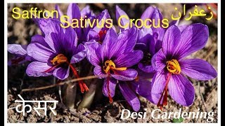 A Complete Guide To Saffron Bulbs (Urdu/Hindi)
