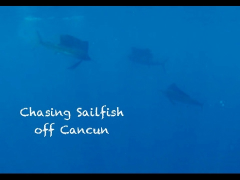 Swimming With  Sailfish, Cancun 2017, With Big Fish Expeditions
