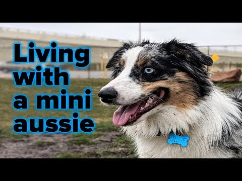 Living with a 1 year old Mini Aussie!