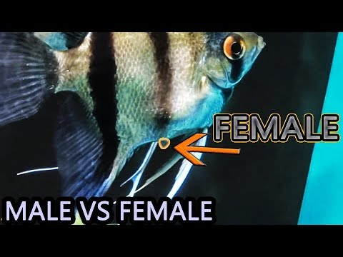 Male Angelfish VS Female Angelfish - How To Tell The Difference Between Male And Female